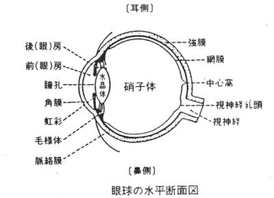 眼球水平断面図